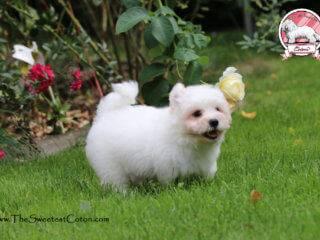 Coton de Tulear - The Sweetest Coton
