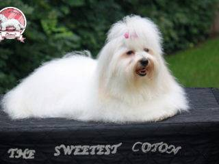 Fressia The Sweetest Coton